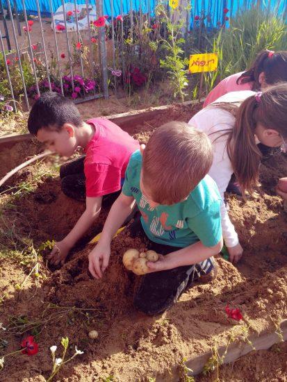 ערוגת תפוחי האדמה