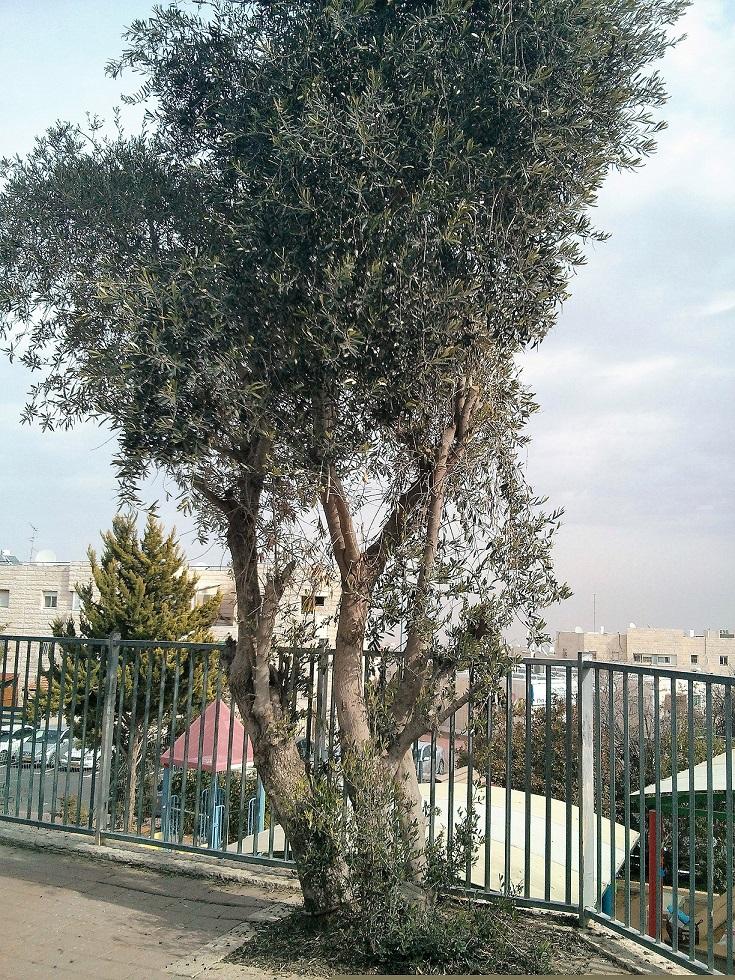 עץ זית בחצר גן בירושלים